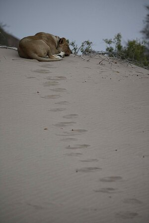 Lioness and tracks in the sand