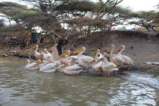 Pelicans at Lake Ziway