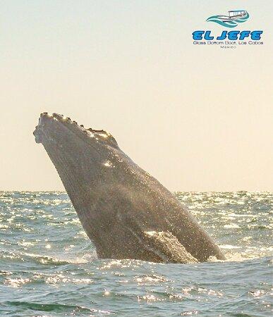 Una de las  maravillas de cabo san lucas  no te puedes  perder  esta experiencia del avistamiento de  ballenas