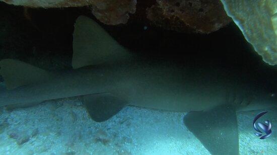Nursey shark
