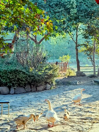 Geese at the stables.