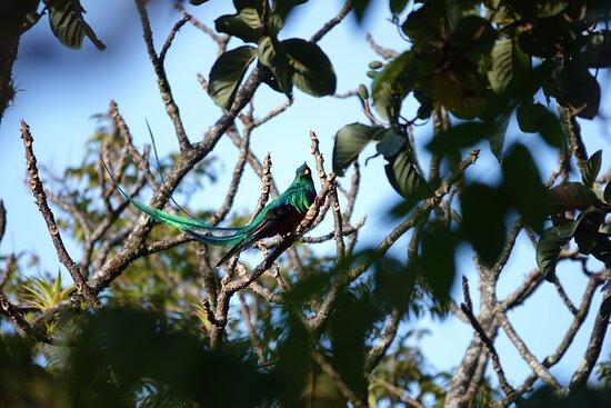 Respledent Quetzal (Curi Cancha tour)