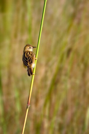 Another cute birdie - a zitting cisticola.