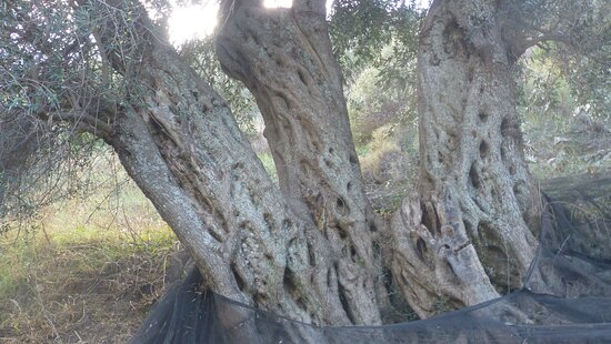Palaiochora, Greece: Olivenernte beim verlassenen Dorf Machia im November 2017 Olive harvest in the abandoned village of Machia in November 2017  https://www.tripadvisor.com/ShowTopic-g189413-i424-k13482465-o20-What_is_Mahia_in_Crete-Crete.html  Ta Leme, kv