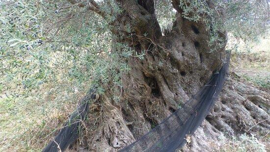 Palaiochora, Greece: Olivenernte beim verlassenen Dorf Machia im November 2017 Olive harvest in the abandoned village of Machia in November 2017  https://www.tripadvisor.com/ShowTopic-g189413-i424-k13482465-o20-What_is_Mahia_in_Crete-Crete.html