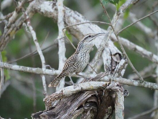 Bird Watching Tour in the Amazili Nature Reserve and Cenote Kax Ek: Yucatan Wren