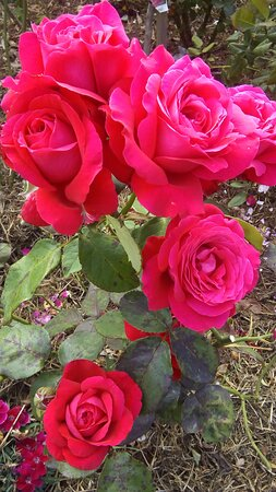 Barrington, Austrália: There are a number of gardens to walk through. The roses are stunning.
