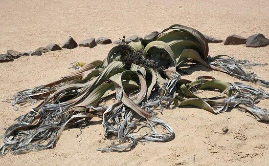 Walvis Bay, Namibia: Welwitschia Miriabilis, Swakop river.