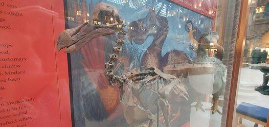 único esqueleto de pájaro Dodo del mundo