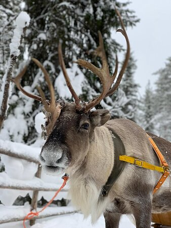 Ylitornio, Finland: Picture of 1 of the reindeers
