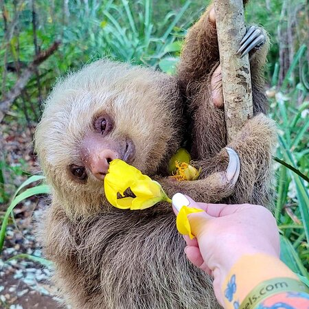 *Sloth Sanctuary WildLife Tour*            From Tamarindo Duration: 2 hours  Price:  $45  Departure : anytime      From Papagayo Duration:  4 hours Price $85   A short drive from Tamarindo is Portegolpe , Here is one of the very few places you can spot the magnificent two toed sloths in Northwest CR , The Hoffman's two toed sloths peacefully await for us to visit them . You will witness their graceful beauty and learn more about them and many other residents of the tropical dry forest.