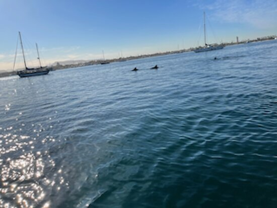 Dolphins everywhere in the marina in la paz