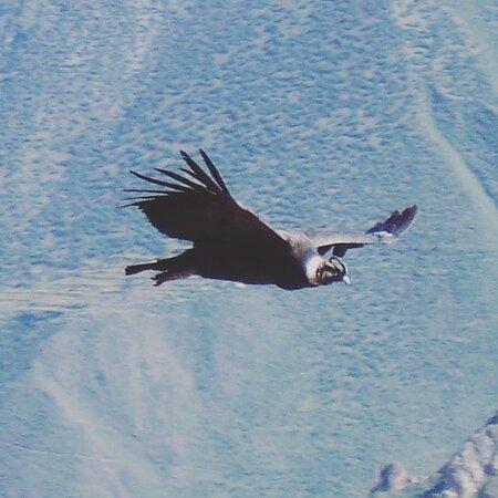 Arequipa Region, Peru: Un meraviglioso ricordo di un meraviglioso viaggio .  Volo dei condor al canyon del Colca.