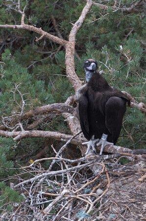 vautour moine au nid 07/2020 point sublme st jean de balmes