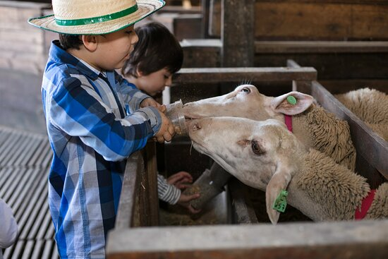 Alimentação das Ovelhas: Alimente você mesmo as ovelhas e conheça um pouco mais sobre a raça lacaune.