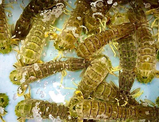 Live Fresh Mantis-Shrimp
