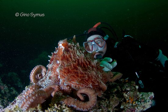 Who is watching who? Giant Pacific octopus