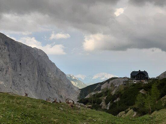 สติเรีย, ออสเตรีย: Capricorn visit close to our hut.