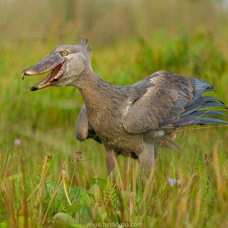 Entebbe, Uganda: The Shoebill Stork