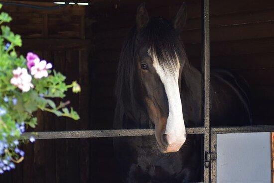 Poppy Shire - Bred at the Dorset Heavy Horse Farm Park