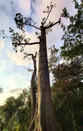 Heritage tree.