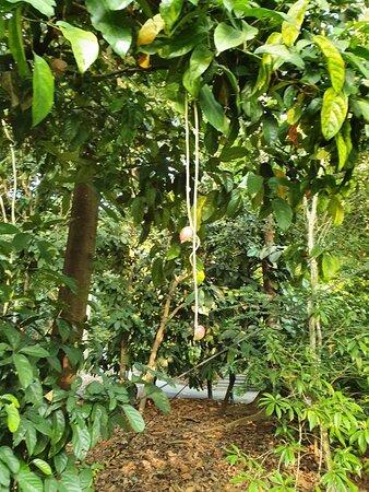 Putat Kampong/fish poison tree