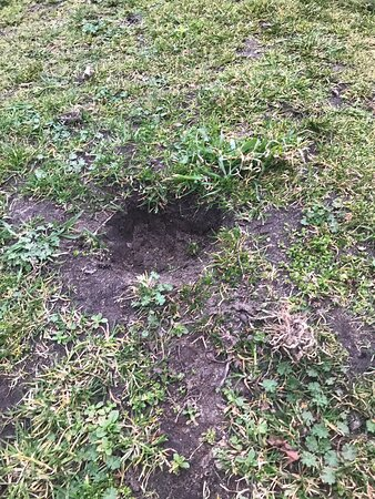 If it's your dog digging these holes ? Stop it before another running dog breaks a leg !!!!!!