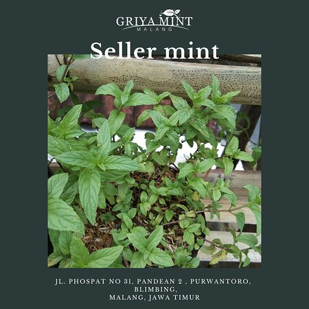 Ada banyak juga jenis mint yang tersedia di Griya Mint Malang, sebagai berikut jenis-jenis mint:  ✔️ SpearMint ✔️ PepperMint ✔️ ChocolateMint ✔️ Applemint ✔️ Berys and cream Mint ✔️ CologneMint ✔️ Menthol Mint ✔️ Lemon Balm