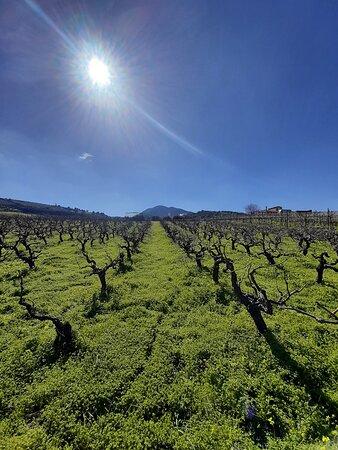 Crète, Grèce : Vineyard in Crete