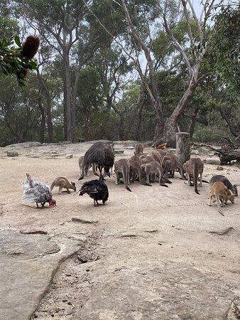 Australia Walkabout Wildlife: Overnight Stay and Wildlife Package: Kangaroo and Wallaby breakfast feeding
