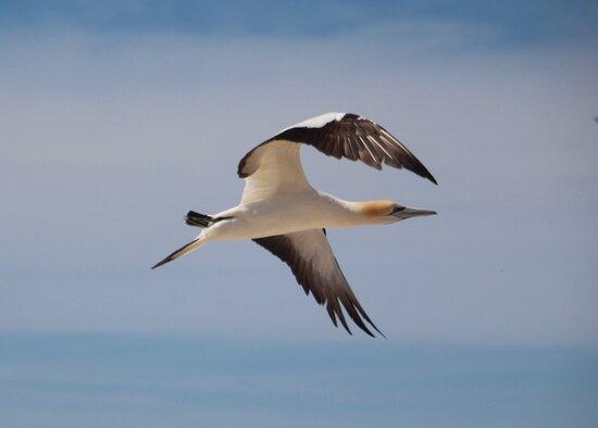 Gannet Safaris Overland tour to Cape Kidnappers Gannet Colony: gannet in flight