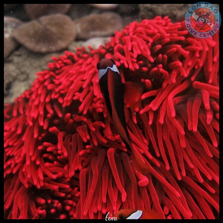 pure red anemones