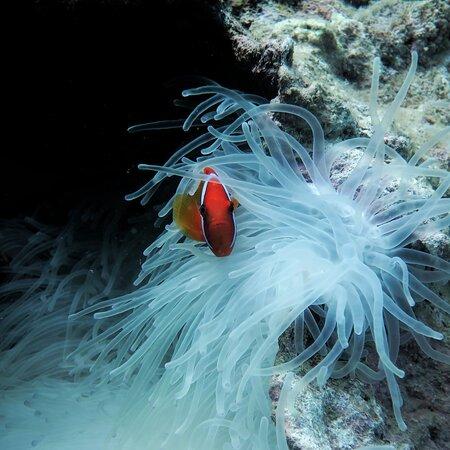 transparent anemones