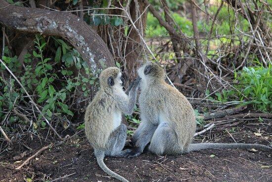 Monkey Ngorongoro NP