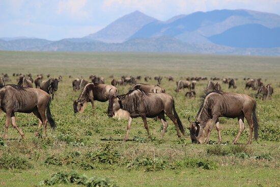 wildebeest Serengeti NP