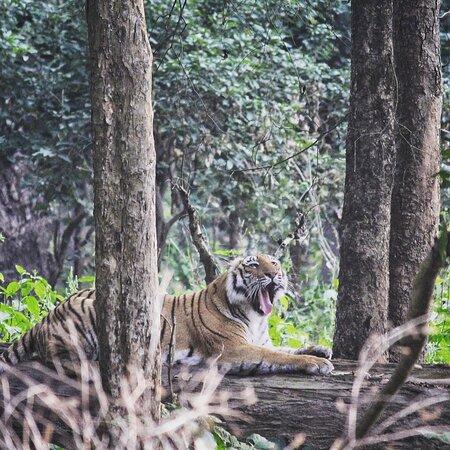#Dhikala #JimCorbett #JungleSafari #Tiger