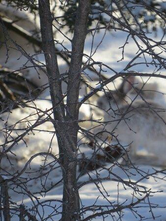 Parc de l'Escarpement - Lièvre d'Amérique dans son costume hivernal