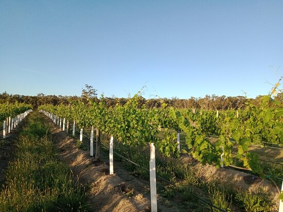 Our baby tempranillo vines.