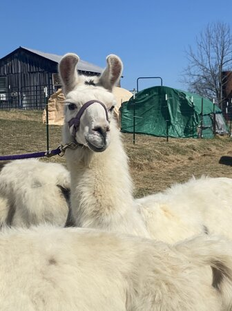 Some of the beautiful Llamas getting ready to go out on a hike
