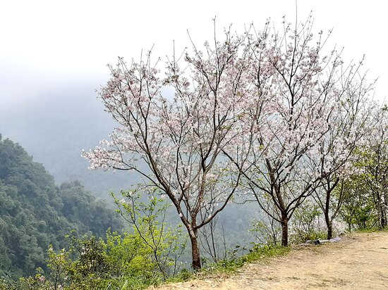 Big Bear Cherry Blossom Forest