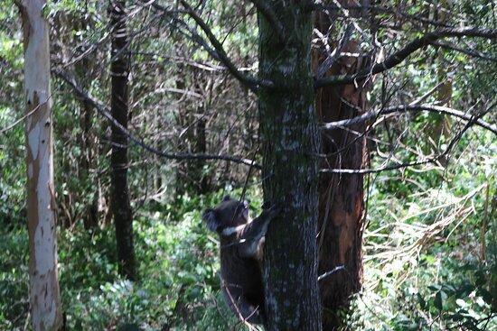 Johanna, Úc: Koala on the drive in