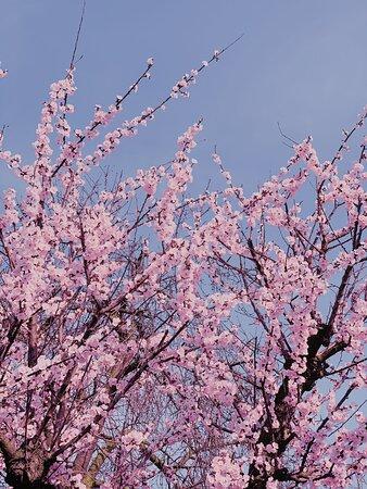 Fiori rosa .... , Fiori di Pesco !!