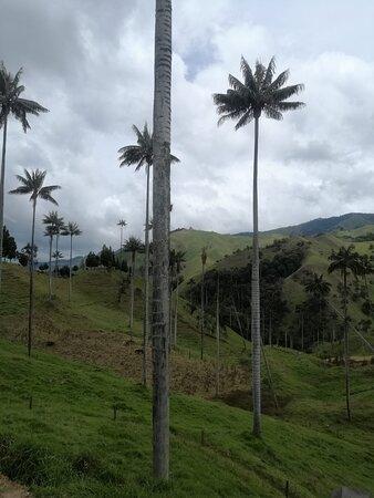 Palmas de Cera