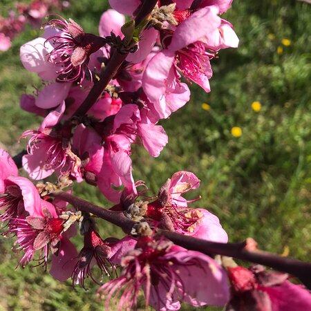 Sardegna Maracalagonis i peschi in fiore