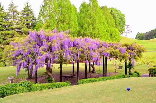 葛城コース番ホールの藤棚。4月下旬には紫色の立派な花房と、甘い香りを楽しめます。