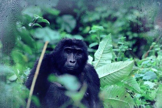 Seven Days One Wonderful Week Safari In Uganda: BEAUTIFU GORILLA IN BWINDI