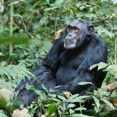 Seven Days One Wonderful Week Safari In Uganda: CHIMPANZEE IN KIBALE
