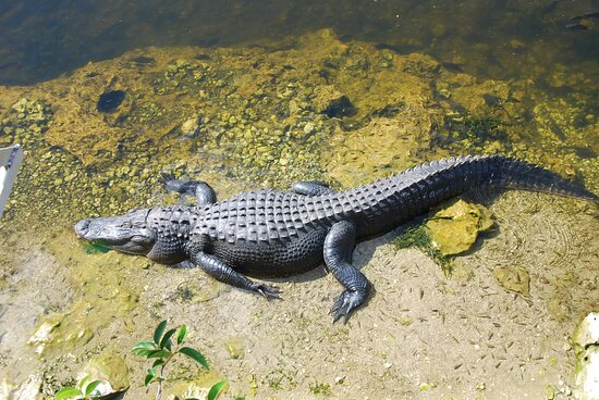 Full-Day Everglades Naturalist-Led Adventure: Cruise, Hike, and Airboat: big boy gator
