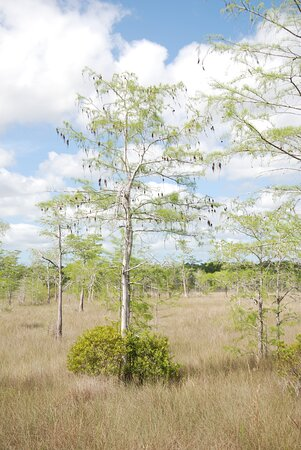 Full-Day Everglades Naturalist-Led Adventure: Cruise, Hike, and Airboat: cyress with crepe myrtle at base on the outside of the cyress dome.