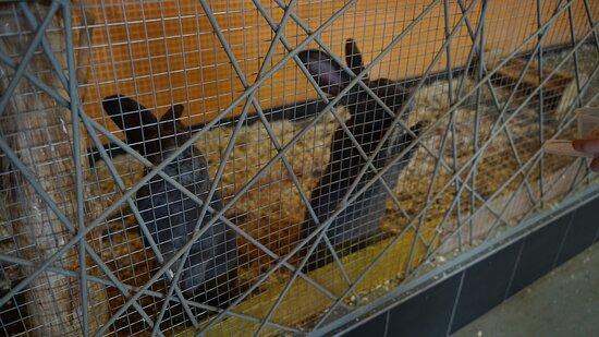 Padikovo, Rusland: Кролики-гиганты